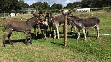 Une 1ère saison exceptionnelle pour les ânes de la ferme pédagogique de Lanvellec !